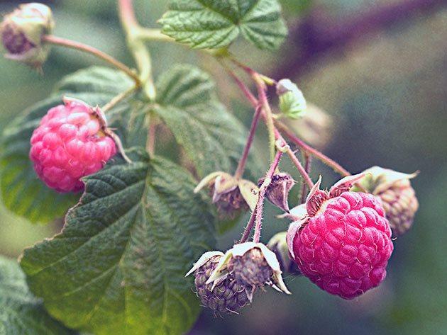 Вредители кустарника приводят к повреждению листьев и сокращению массы ягод