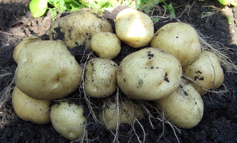 Сорт картофеля успех описание сорта