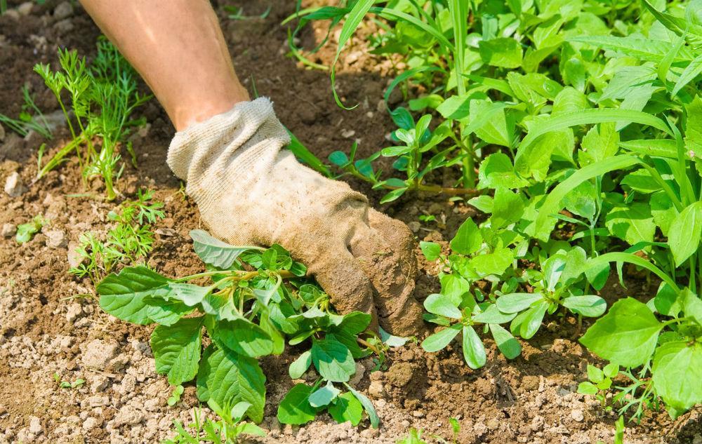 Прополка грядки от сорняков для лучшей аэрации почвы