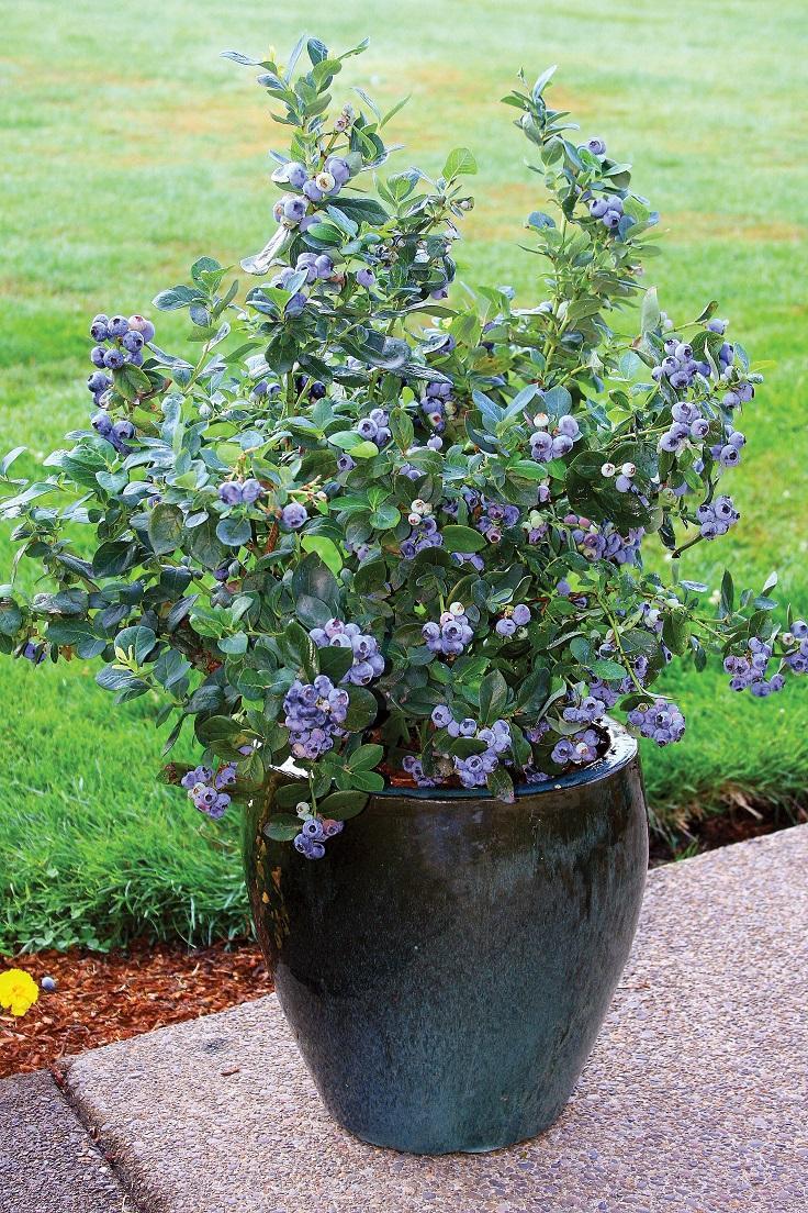 Голубика Норт Блю выращивается не только ради полезных и вкусных ягод, но и как декоративное растение