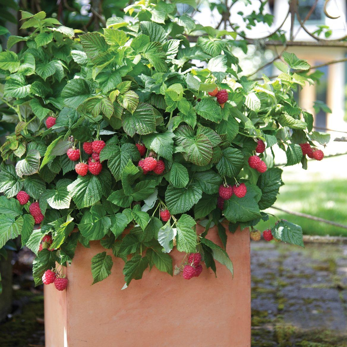 Малиновое дерево эффективно используется в ландшафтном дизайне