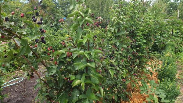 Ежемалина уход и выращивание необычного гибрида