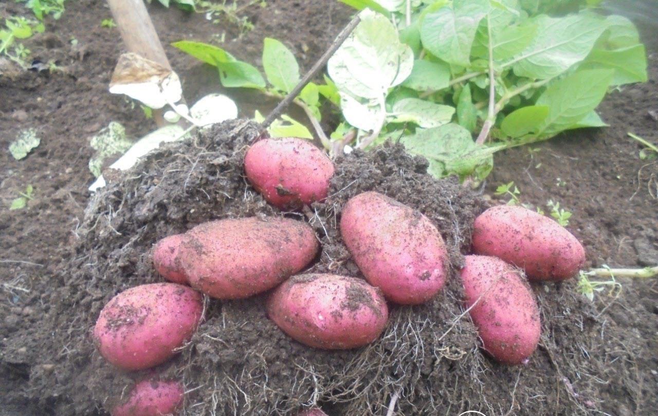 Ред Скарлетт – сорт картофеля, идеально подходящий для выращивания в средней полосе
