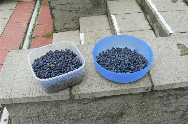 Ягоды не осыпаются, поэтому можно сразу собирать весь урожай с куста