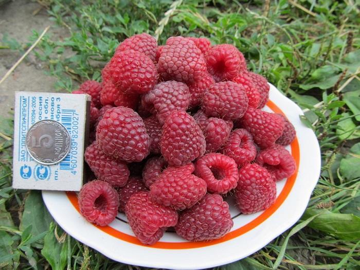 Ягоды малины Полька обладают особым незабываемым вкусом
