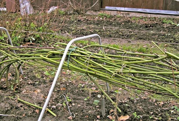 Ежевика без шипов: посадка и уход, сорта и рекомендации садоводам