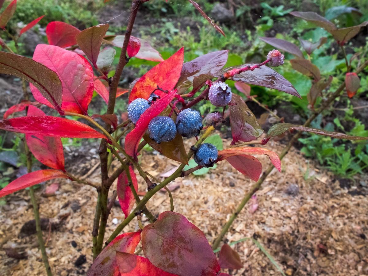 Голубика подсказывает цветом листьев о заболевании
