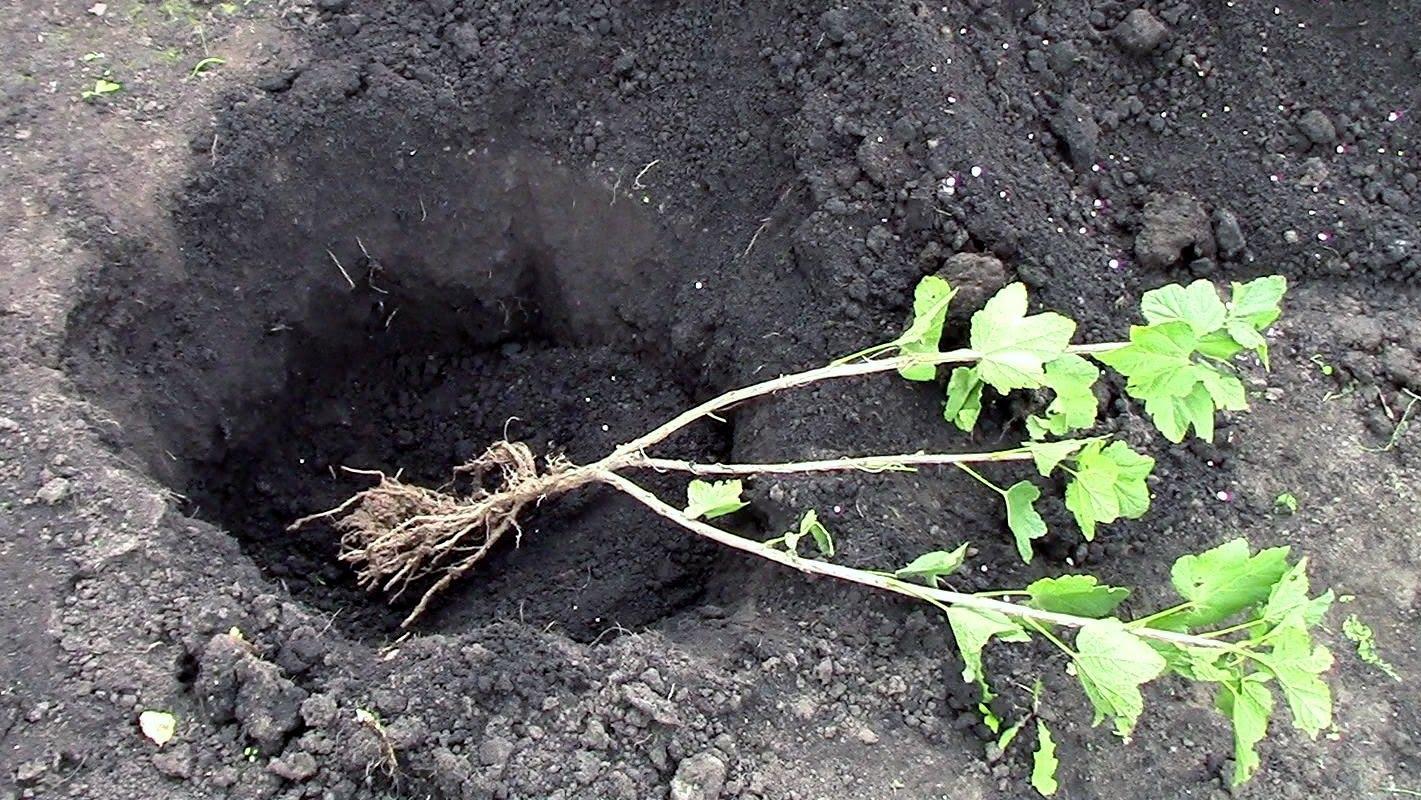Размножение белой смородины производится черенкованием или отводками