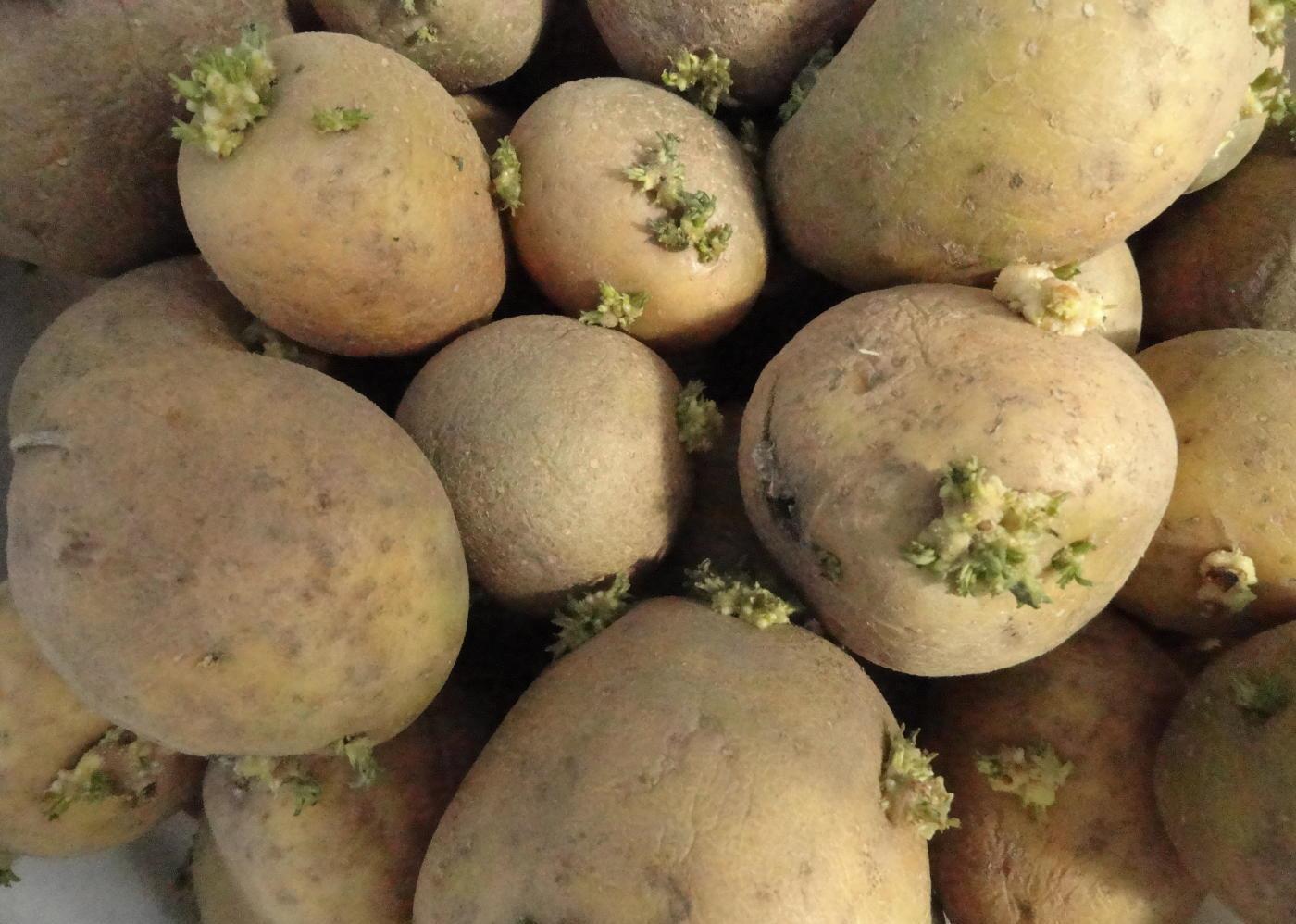 Гала – картофель с пониженным содержанием крахмала, пригодный для диетического питания