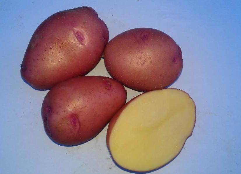 Внешний вид картофеля сорта Розара