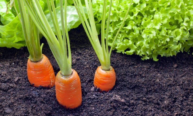 Морковь выращивают в Сибири