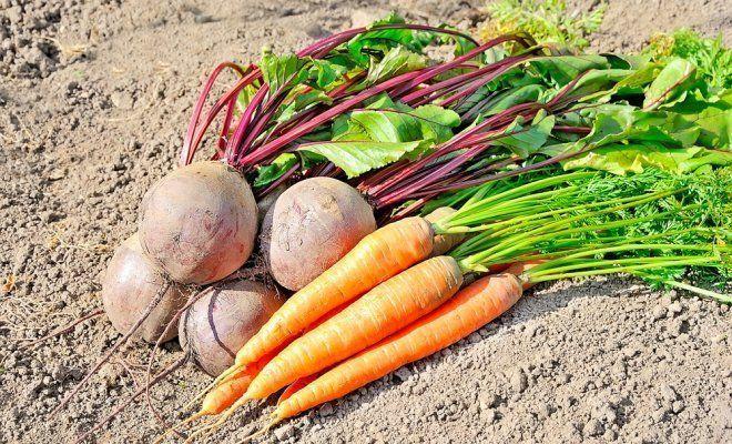 Урожай моркови и свеклы в Подмосковье