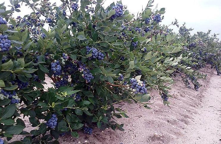 Куст голубики садовой во время урожая