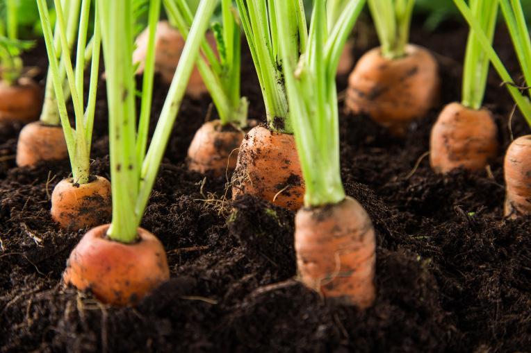 Морковка в Южном Урале