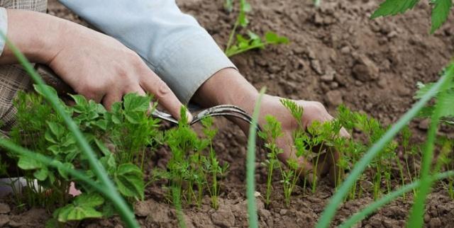 Как выращивают и ухаживают за морковью в Сибири