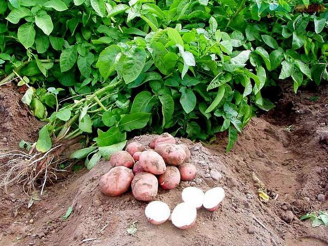 Богатая урожайность картофеля Розана