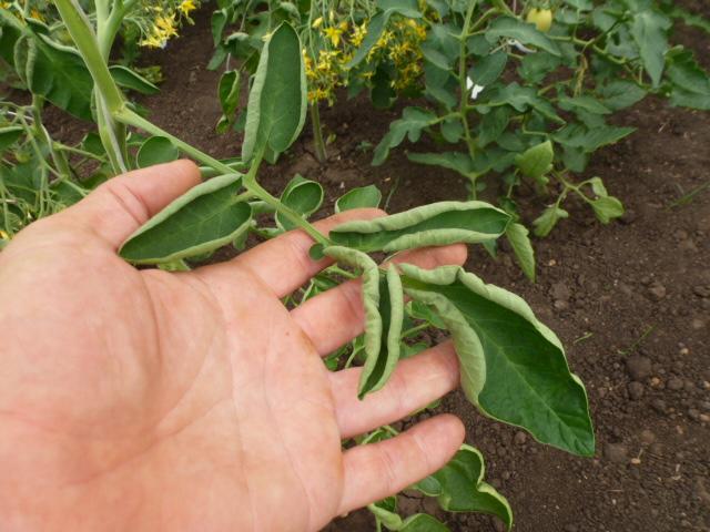 Листья картофеля Журавинки, пораженные вирусом