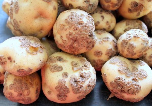 Картофель, который болеет паршой обыкновенной