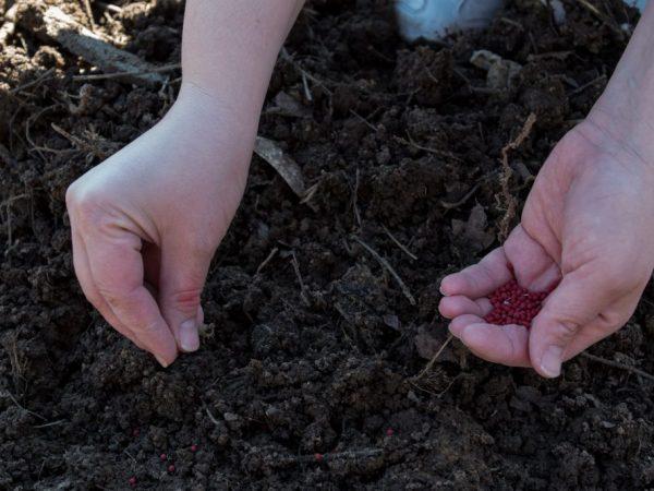 Посадка семян моркови на Урале
