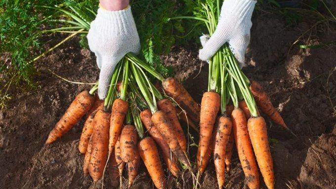 Богатый урожай моркови в Сибири