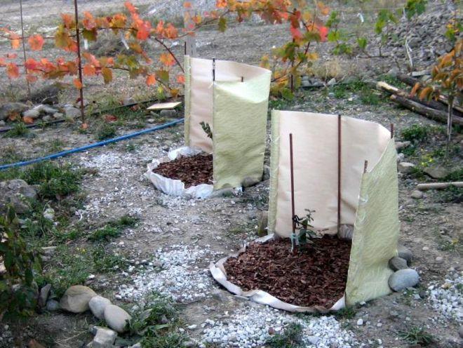 Только что посаженный кущ садовой голубики