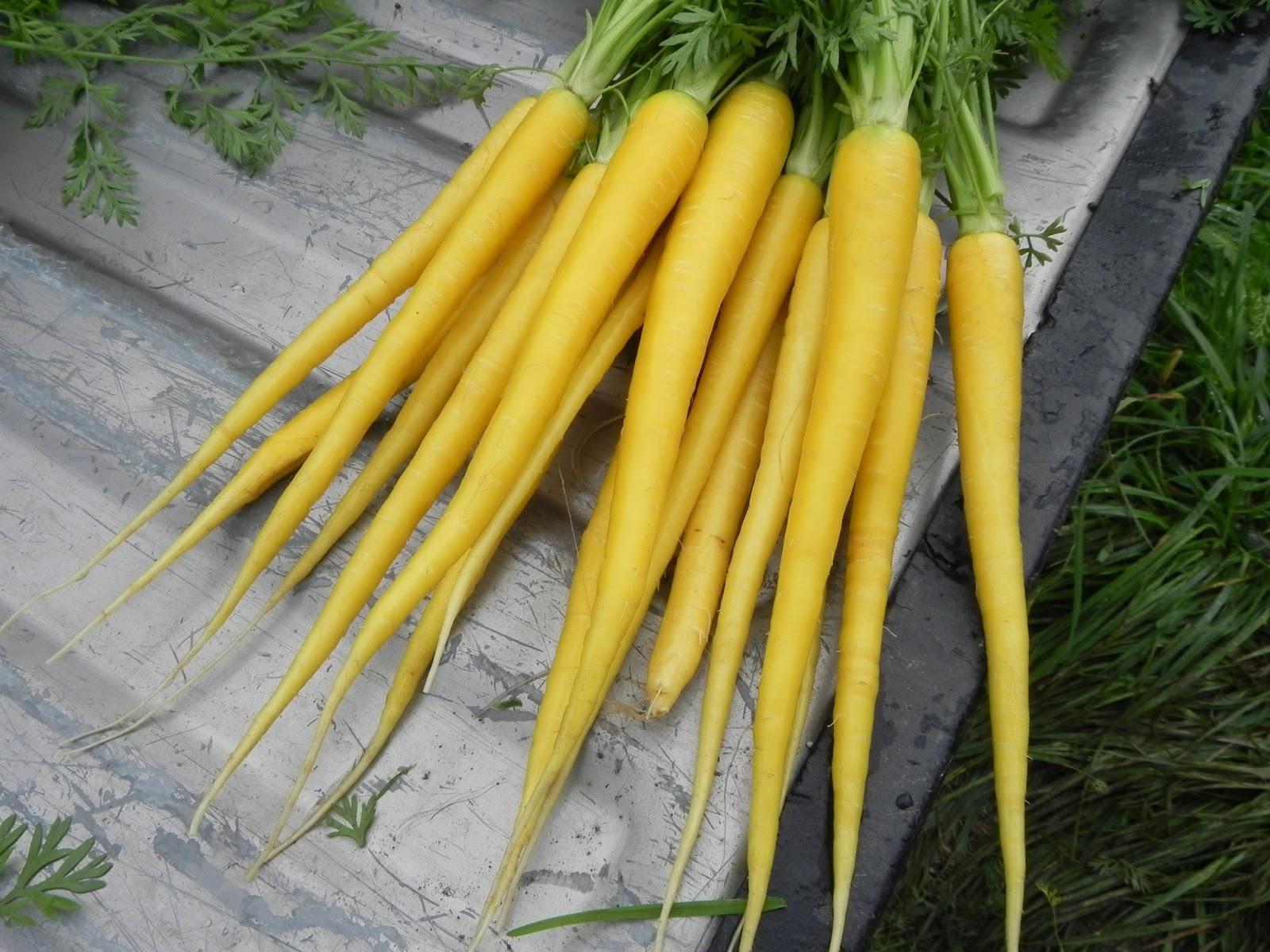 Урожай морковки сорта Еллоустоун