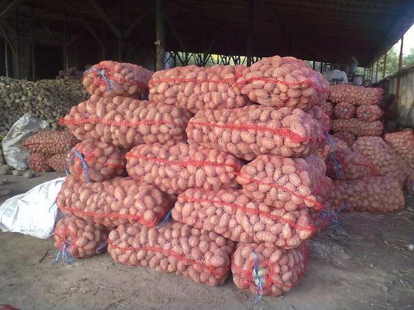 Хранение в мешках картофеля Розара