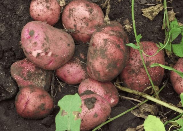 Свежевырытый картофель Журавинка