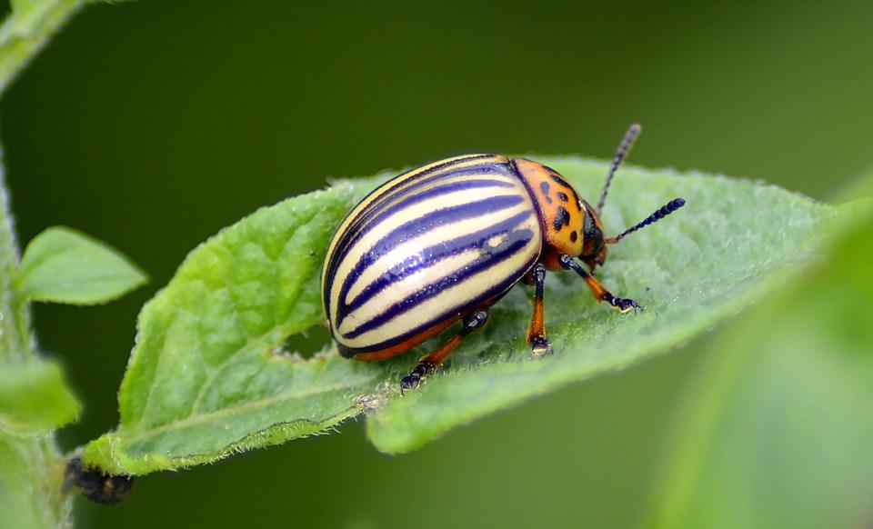 Картофельный жук поедает листья