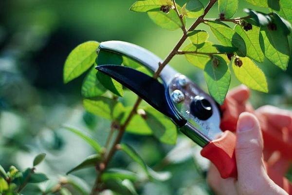 Обрезание побегов садовой голубики