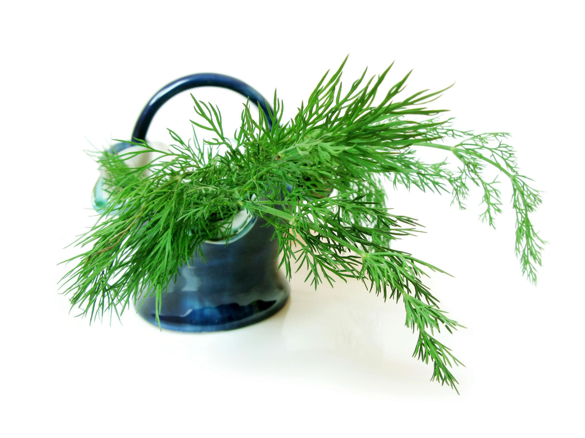 Как правильно посадить укроп в открытый грунт
