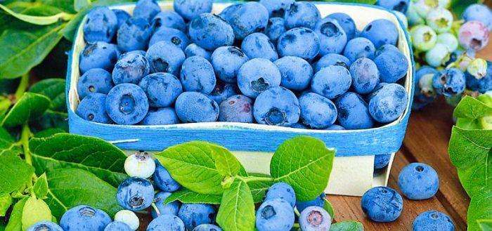Голубика издавна известна своими лечебными свойствами, поэтому возделывать и употреблять в пищу ее нужно не только как вкусную ягоду, но и как натуральное природное лекарство