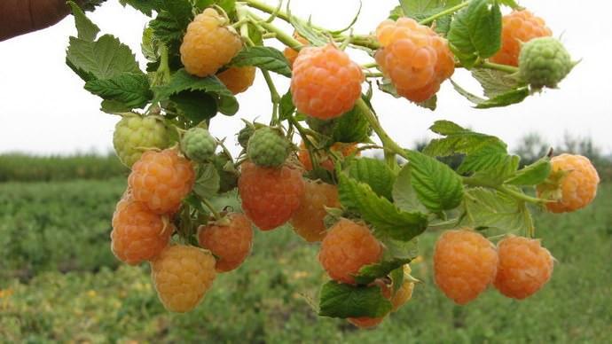 Многоплодная красивая ветвь малины добавит красок саду