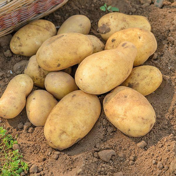 Ровный красивый картофель Джелли словно калиброван в каждом кусте