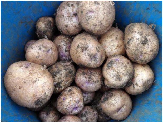 Внешний вид картофеля Синеглазка