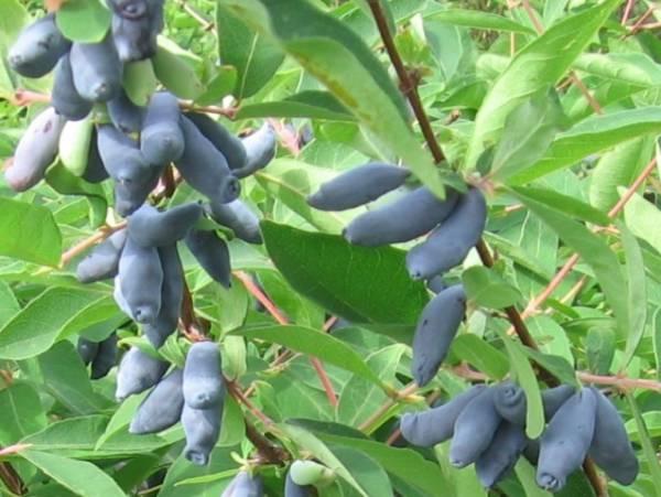 Плоды сорта Гордость Бакчара напоминают форму веретена и отличаются высокой пищевой ценностью