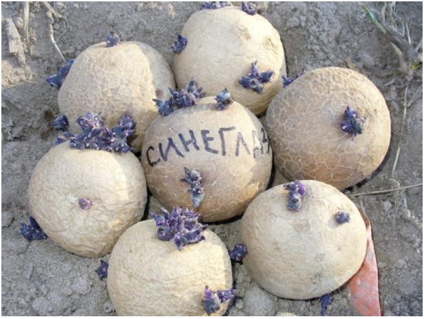 Пророщенный картофель Синеглазки готов для высадки в землю