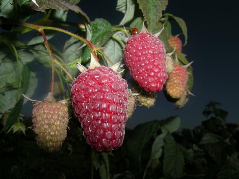 Благодаря своим характеристикам, ягода часто выращивается на продажу