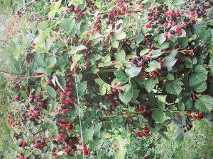 Большинство сортов садовой ежевики не имеет шипов