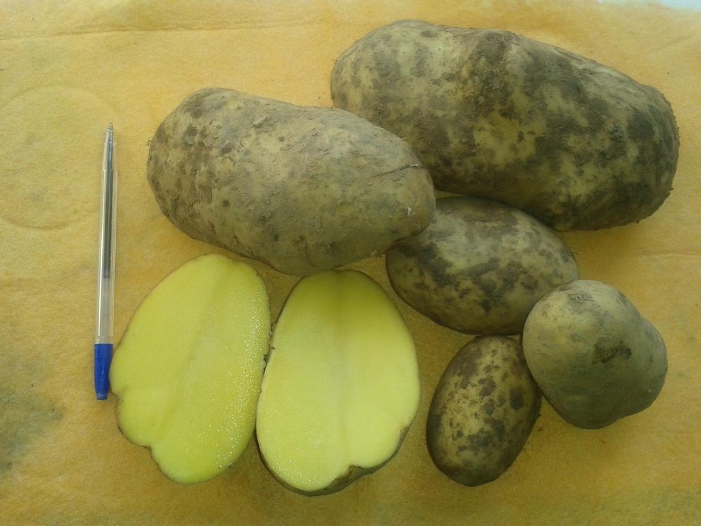 Клубни картофеля Рамос крупней, чем у большинства других сортов