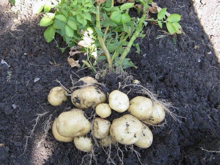 С одного куста картофеля при должном уходе можно собрать несколько килограммов корнеплодов