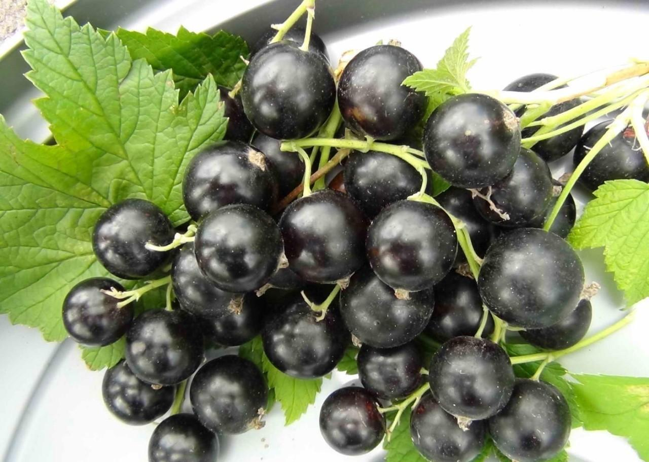 Смородина Гулливер отличается очень крупными ягодами