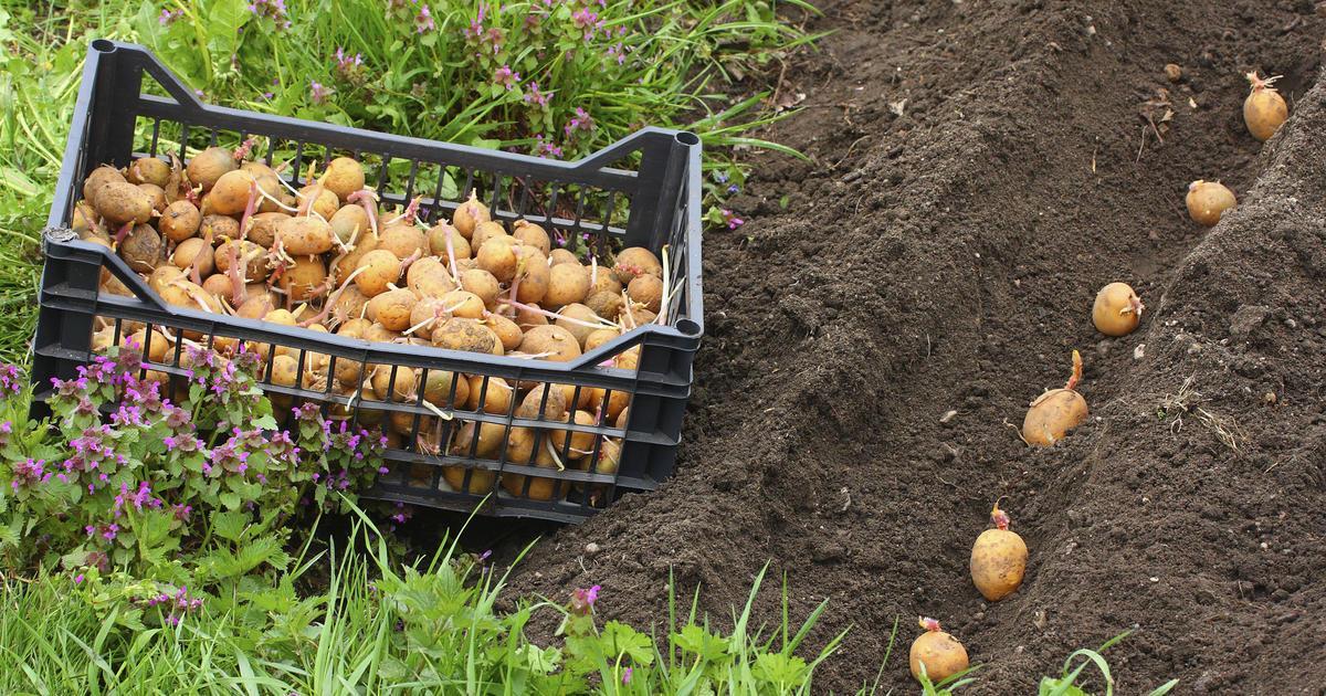 Проще и быстрее сажать картофель в обработанные плугом борозды