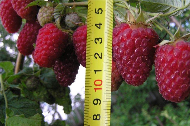 Качество и размер ягод малины Терентий зависит от условий произрастания