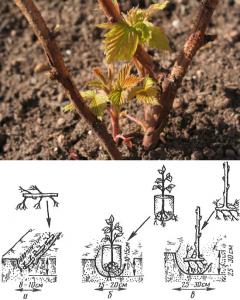 Чтобы малина Вера дала хороший урожай, важно ее правильно посадить