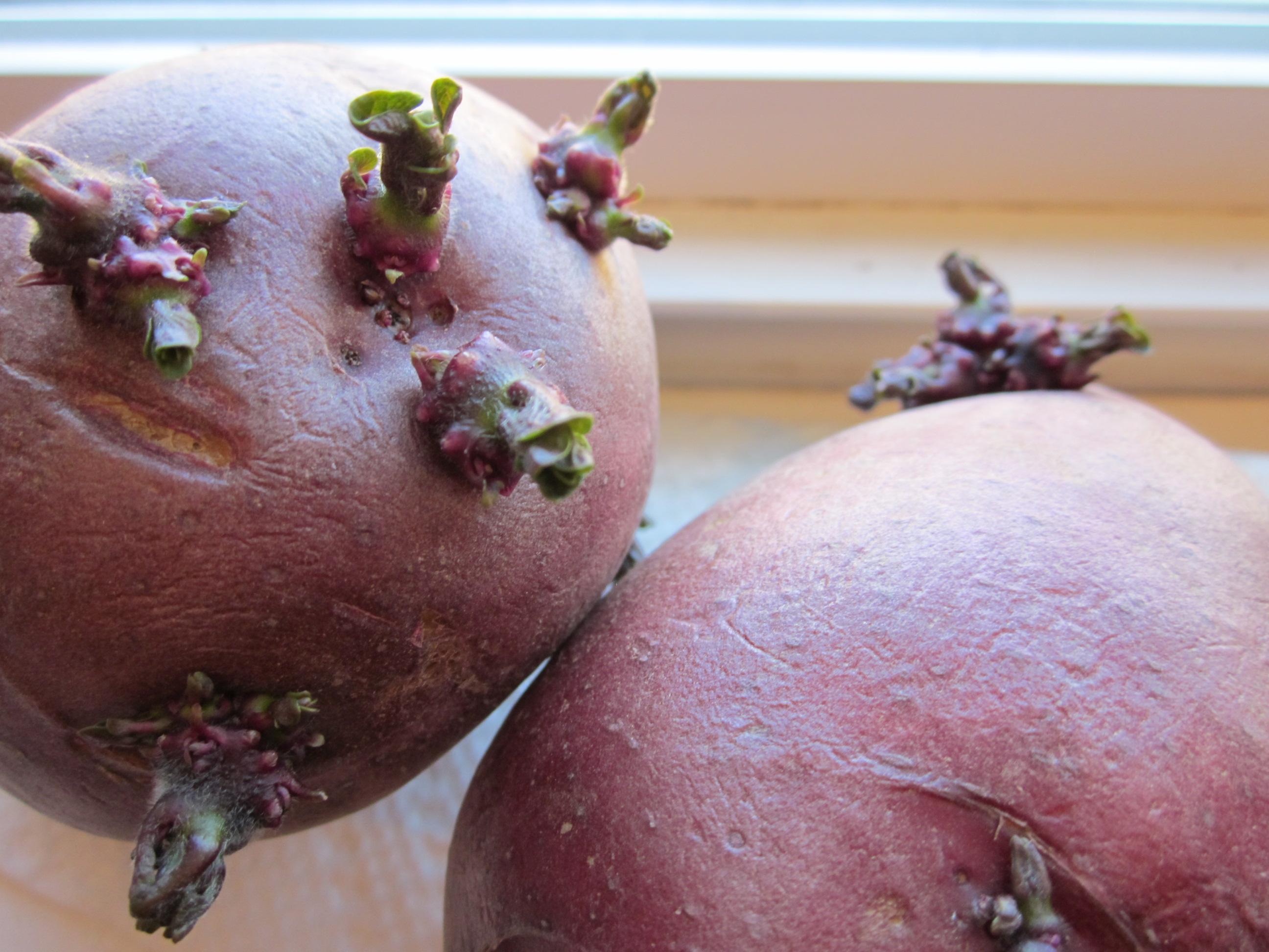 Если на картофелине много глазков, ее можно разрезать на части для посадки