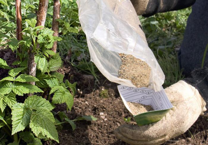 Подкормка желтой малины – очень ответственная манипуляция