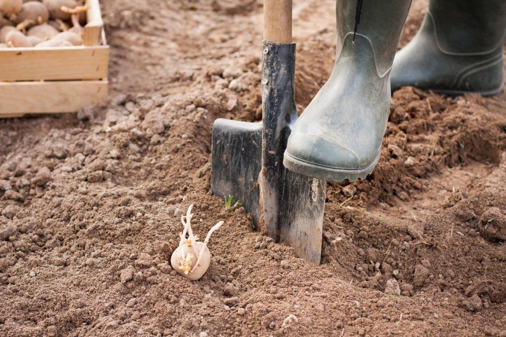 мПосадка картофеля должна производиться в достаточно прогревшуюся почву