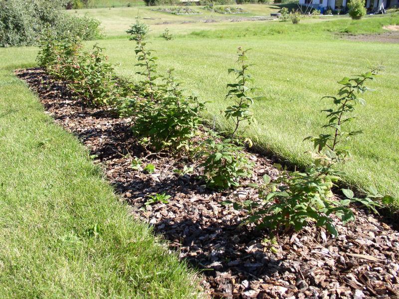 Посадка малины – очень ответственный процесс