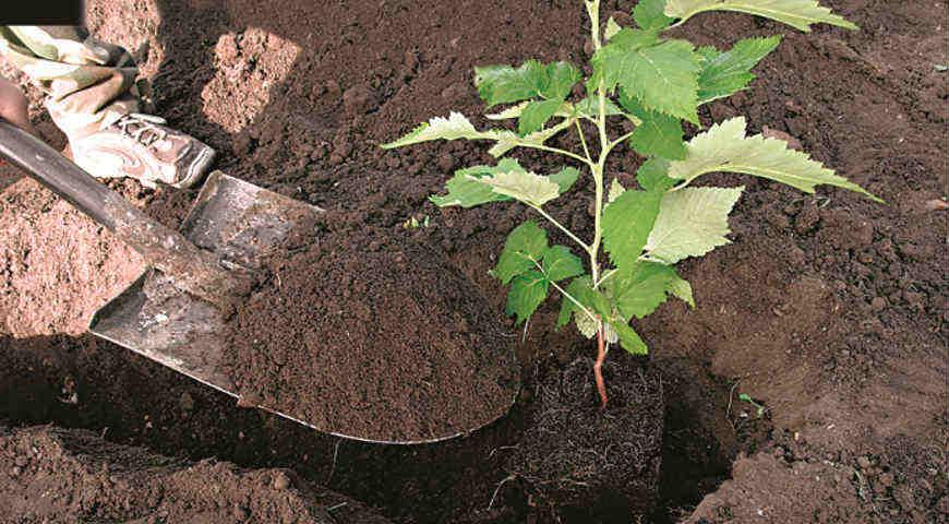 Посадка малины – значимый этап ухода за ягодой